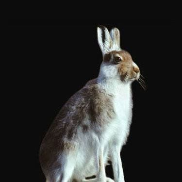 Wild Mountain Hare